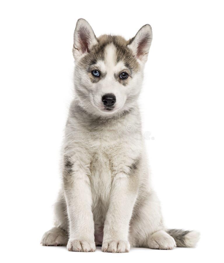 Sentada del perrito del husky siberiano, aislada imagenes de archivo