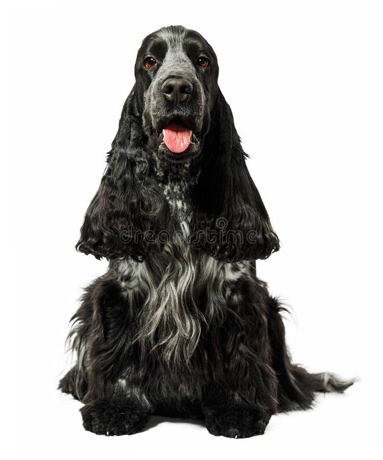 Sentada del perro de cocker spaniel del inglés aislada imagen de archivo libre de regalías