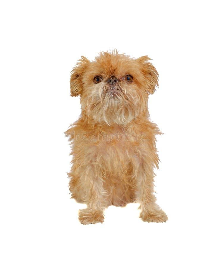 Sentada del perro de Shaggy Griffon Bruxellois aislada imágenes de archivo libres de regalías