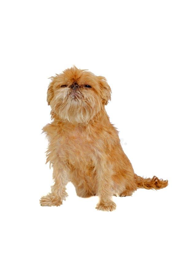 Sentada del perro de Shaggy Griffon Bruxellois aislada foto de archivo
