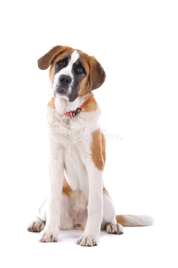 Sentada del perro del St. Bernard imágenes de archivo libres de regalías