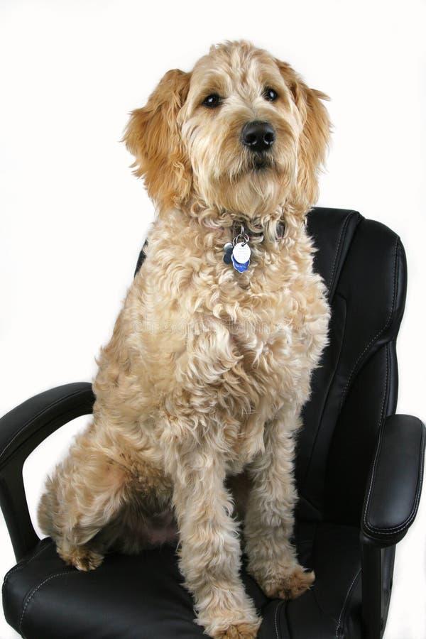 Sentada del perro en silla negra de la oficina fotos de archivo libres de regalías