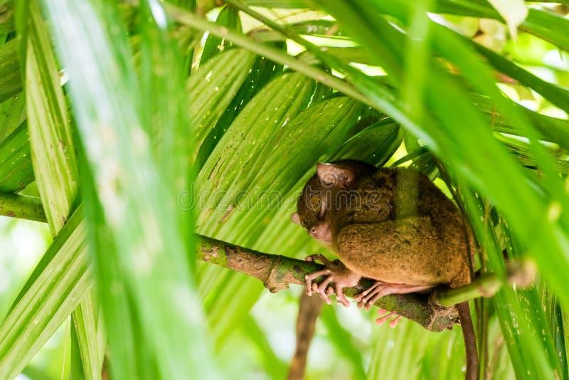 Sentada más tarsier filipina en un árbol, Bohol, Filipinas Con el foco selectivo foto de archivo