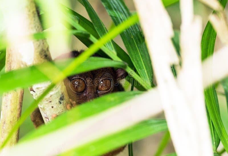 Sentada más tarsier filipina en un árbol, Bohol, Filipinas Con el foco selectivo imagenes de archivo