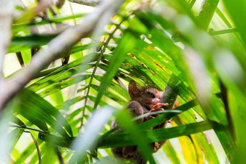 Sentada más tarsier filipina en un árbol, Bohol, Filipinas Con el foco selectivo fotos de archivo