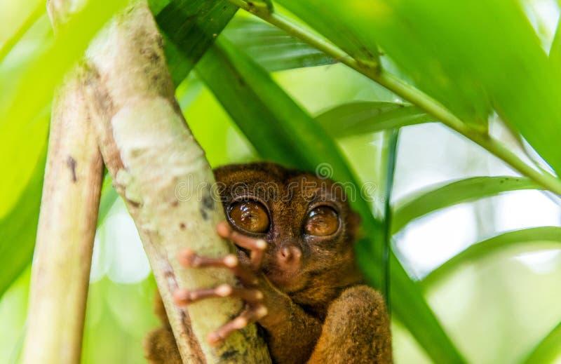 Sentada más tarsier filipina en un árbol, Bohol, Filipinas Con el foco selectivo fotografía de archivo libre de regalías