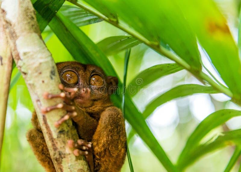 Sentada más tarsier filipina en un árbol, Bohol, Filipinas Con el foco selectivo imagen de archivo libre de regalías