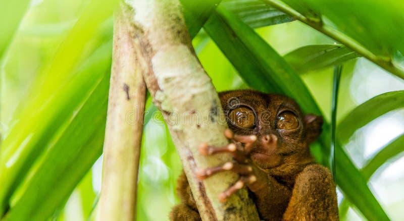 Sentada más tarsier filipina en un árbol, Bohol, Filipinas Con el foco selectivo imágenes de archivo libres de regalías