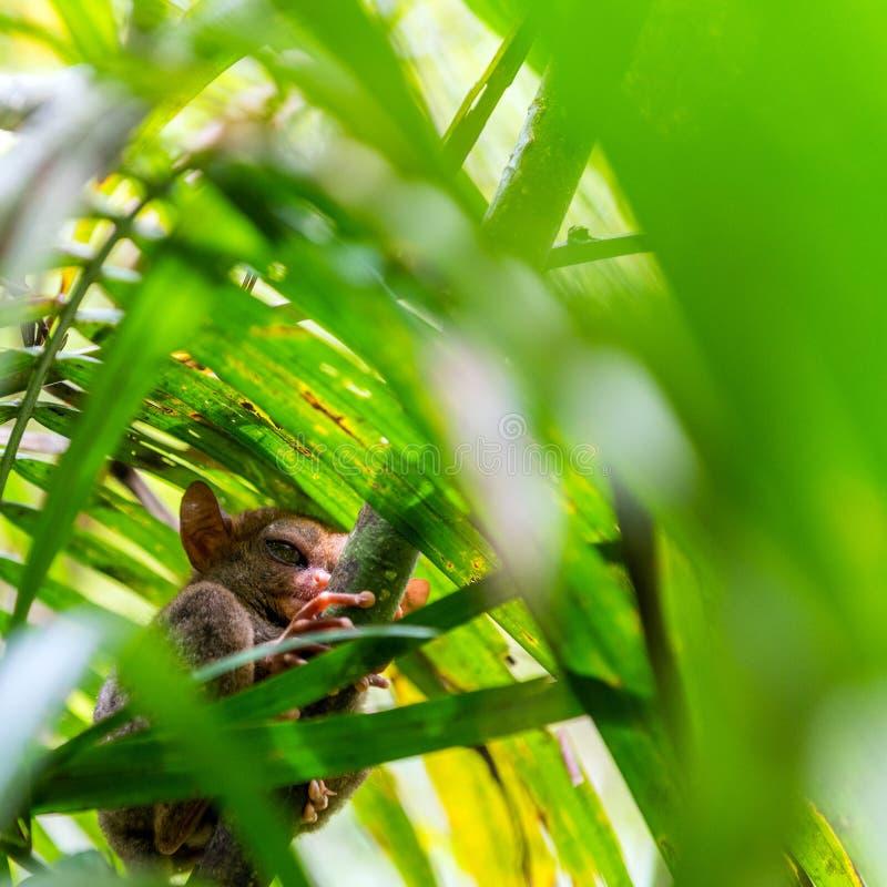 Sentada más tarsier filipina en un árbol, Bohol, Filipinas Con el foco selectivo fotografía de archivo