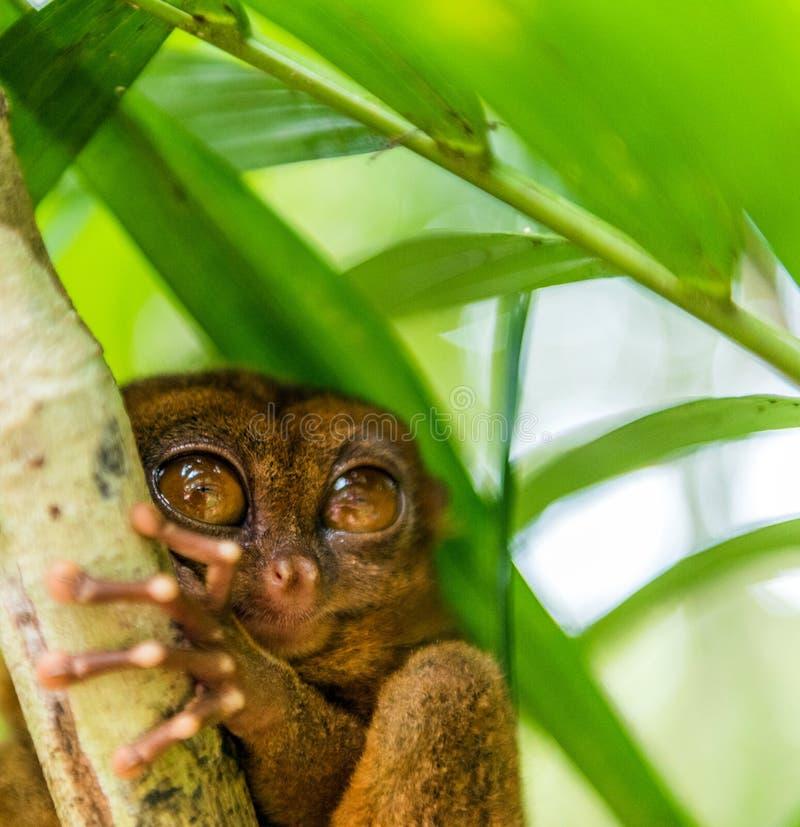 Sentada más tarsier filipina en un árbol, Bohol, Filipinas Con el foco selectivo Primer imágenes de archivo libres de regalías