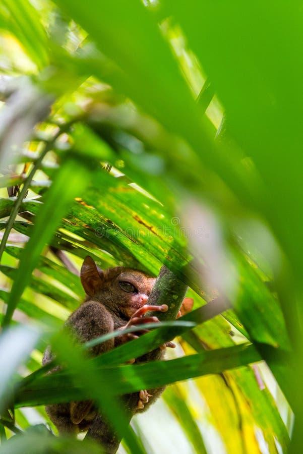 Sentada más tarsier filipina en un árbol, Bohol, Filipinas Con el foco selectivo vertical imagen de archivo