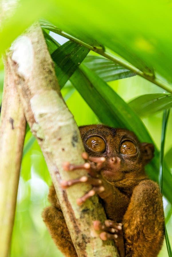 Sentada más tarsier filipina en un árbol, Bohol, Filipinas Con el foco selectivo vertical imagen de archivo libre de regalías