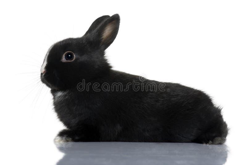 Sentada negra del conejo del bebé fotografía de archivo