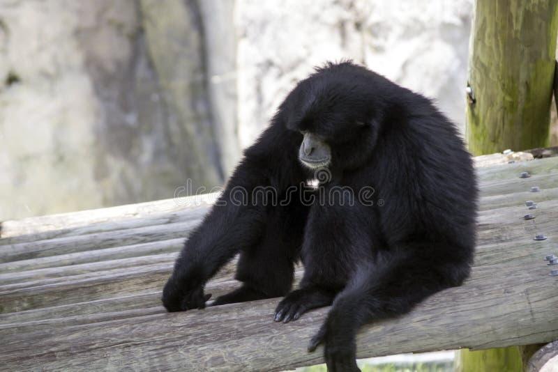 Sentada negra del mono de chillón imagen de archivo