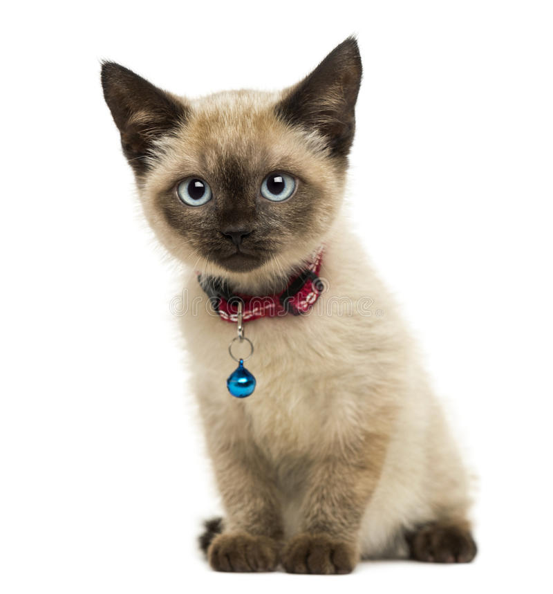 Sentada polidáctila americana del gatito, mirando la cámara fotos de archivo libres de regalías