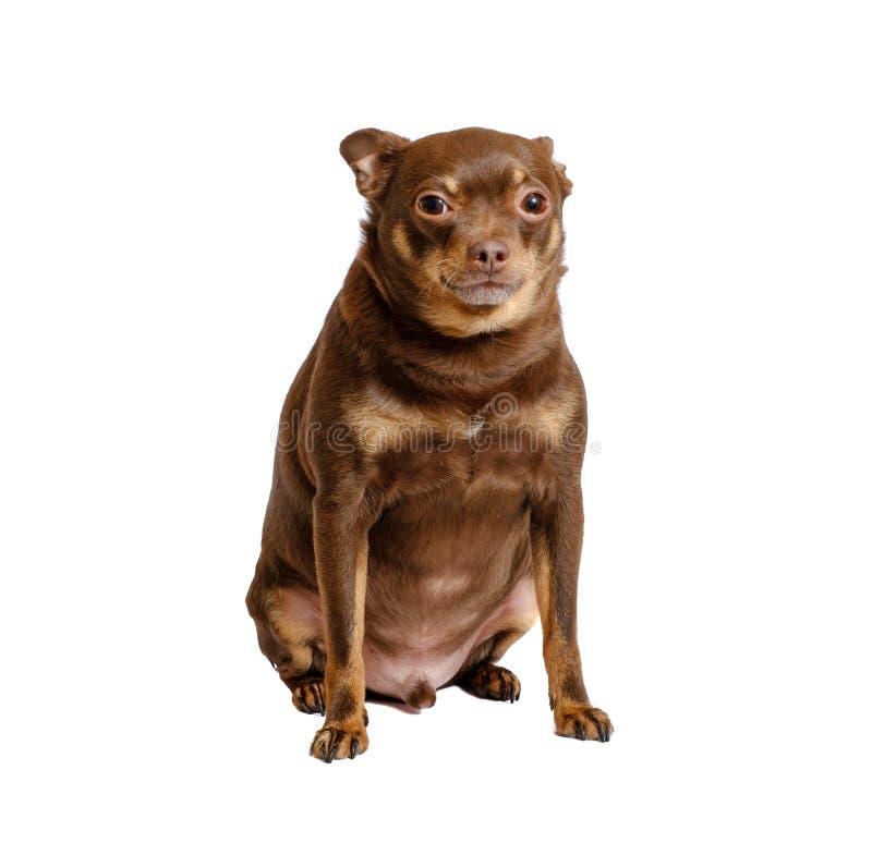 Sentada rusa gorda del perro de juguete foto de archivo