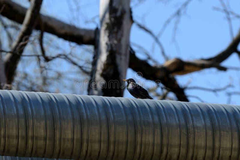 Sentada vulgaris del Sturnus del estornino com?n en el tubo del hierro en la ciudad en un d?a soleado foto de archivo libre de regalías