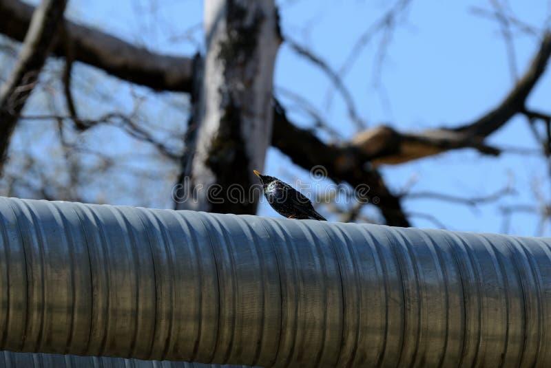 Sentada vulgaris del Sturnus del estornino com?n en el tubo del hierro en la ciudad en un d?a soleado imagen de archivo libre de regalías