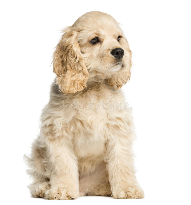 Sentada y el mirar fijamente del perrito de cocker spaniel del americano fotografía de archivo libre de regalías
