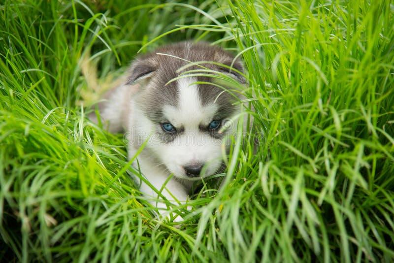Sentada y mirada del perrito del husky siberiano de los ojos azules fotos de archivo libres de regalías