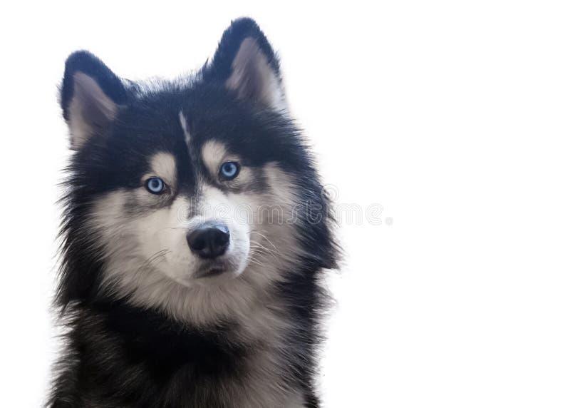 Sentada y miradas adorables del husky siberiano en la cámara con sus ojos azules brillantes Aislado imagenes de archivo