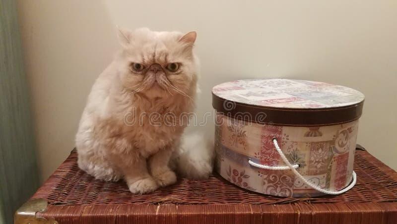 Sentado persiano Gato Persa/di Cat Sit fotografia stock