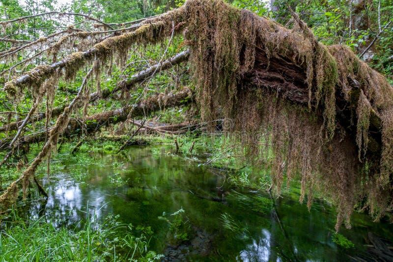 Sentier de randonnée avec les arbres et l'étang de Hoh Rain Forest images stock