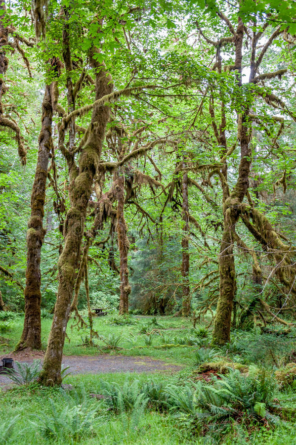 Sentier de randonnée avec les arbres et le chemin de Hoh Rain Forest photographie stock libre de droits