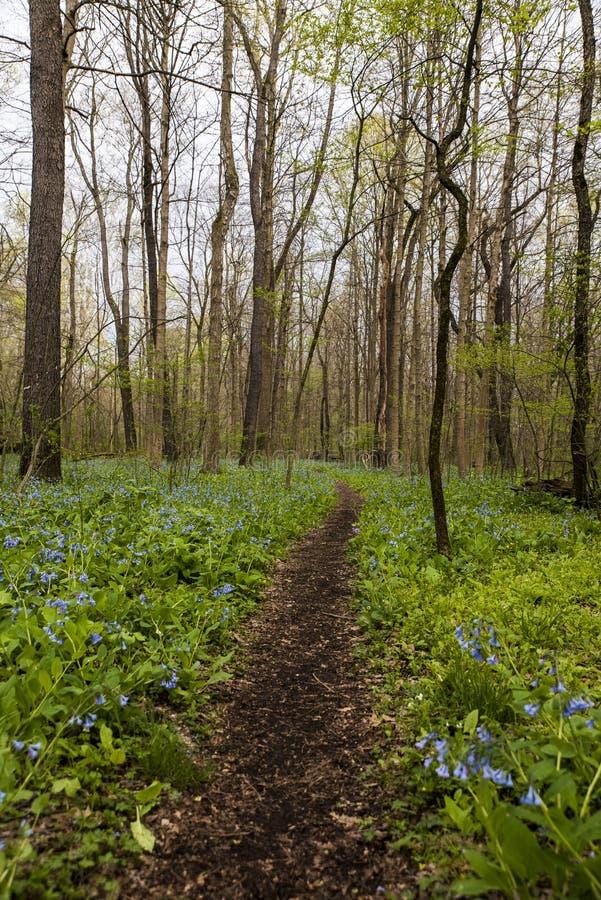 Sentier de randonnée et Virginia Bluebell Wildflowers - l'Ohio image libre de droits