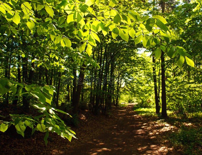 Sentier piéton de forêt en bois à feuilles caduques verts parmi les arbres, fraîcheur de nature photographie stock
