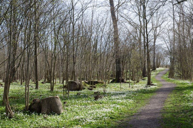 Sentier piéton entouré des anémones en bois photographie stock