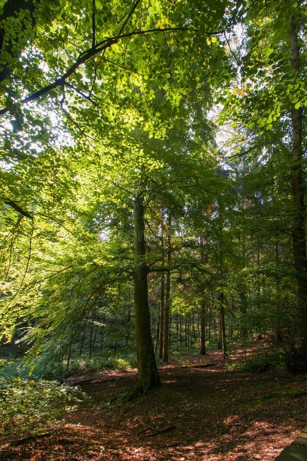 Sentier piéton entre les arbres dans la région boisée images stock