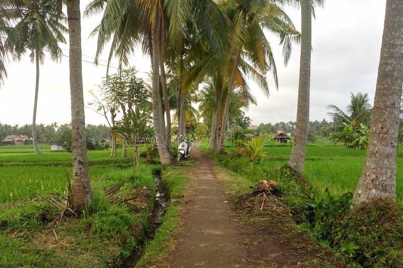 Sentier piéton entre les palmiers menant par des gisements de riz dans la jungle photo stock