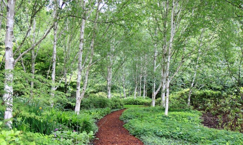Sentier piéton par la forêt de bouleau image libre de droits