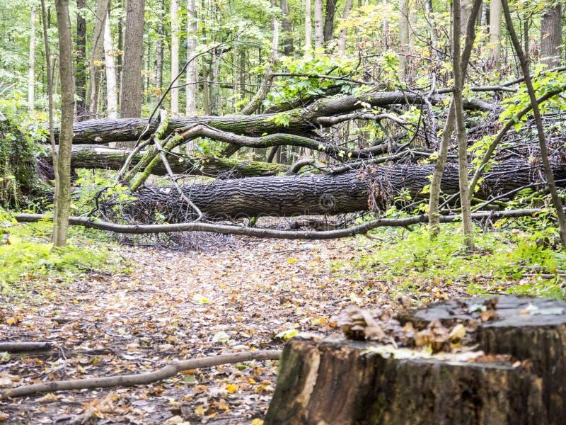 Sentiero forestale di autunno bloccato dagli alberi caduti fotografie stock libere da diritti
