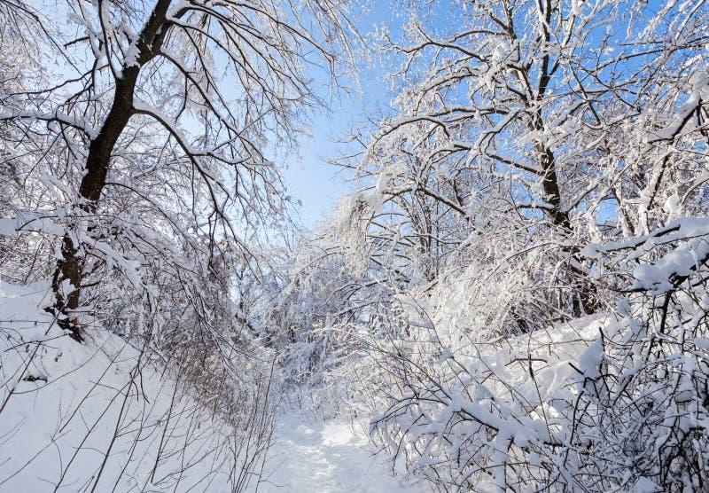 Sentiero forestale di inverno sotto la corona degli alberi immagine stock