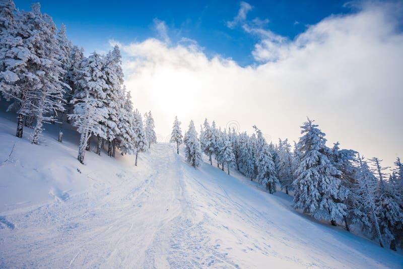 Sentiero nel bosco dello sci con i pini coperti in neve immagine stock
