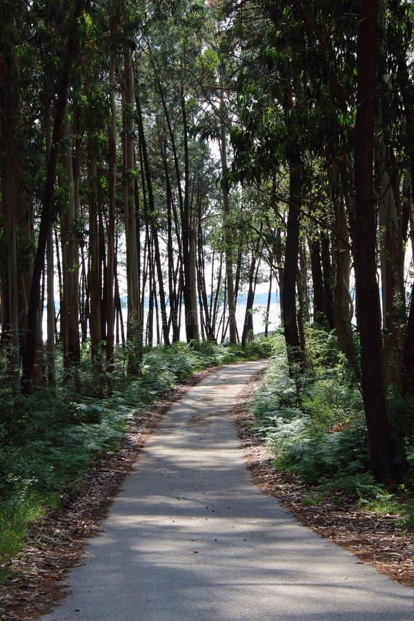 Sentiero nel bosco fra i pini alti fotografia stock