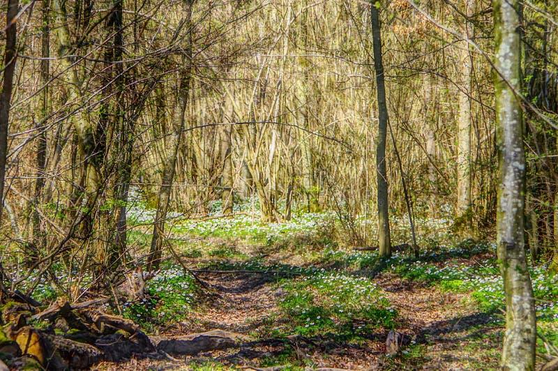 Sentiero nel bosco in primavera con gli anemoni immagine stock