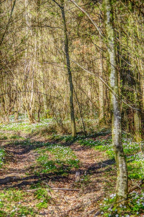 Sentiero nel bosco in primavera con gli anemoni fotografia stock
