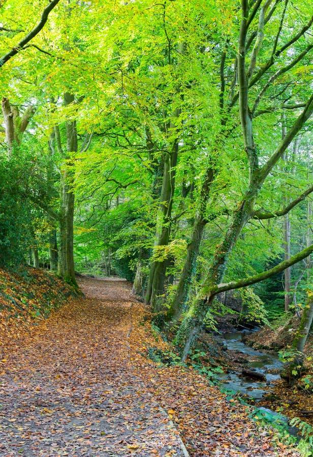 Sentiero per pedoni attraverso il terreno boscoso britannico tipico del faggio fotografia stock libera da diritti