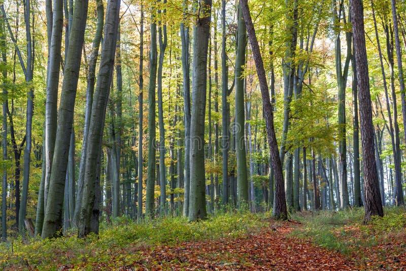 Sentiero per pedoni dei fogli nella foresta del faggio di autunno fotografia stock
