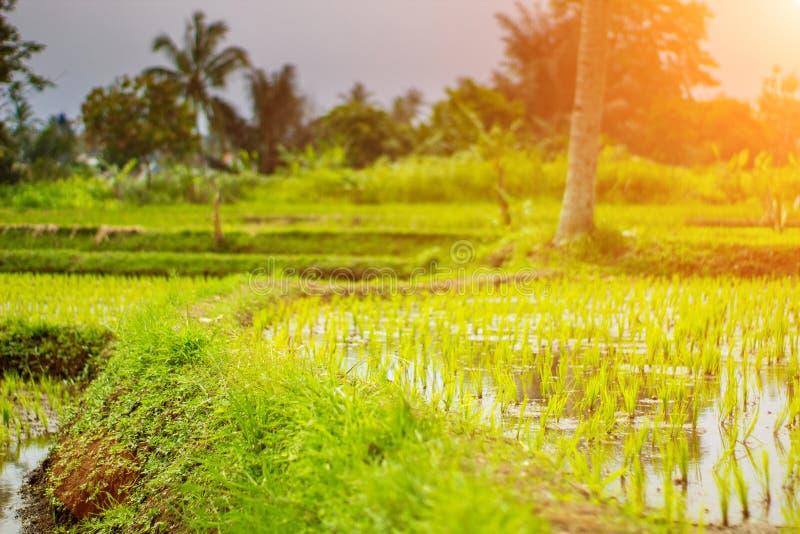 Sentiero per pedoni del giacimento del riso quando pomeriggio prossimo fotografie stock libere da diritti