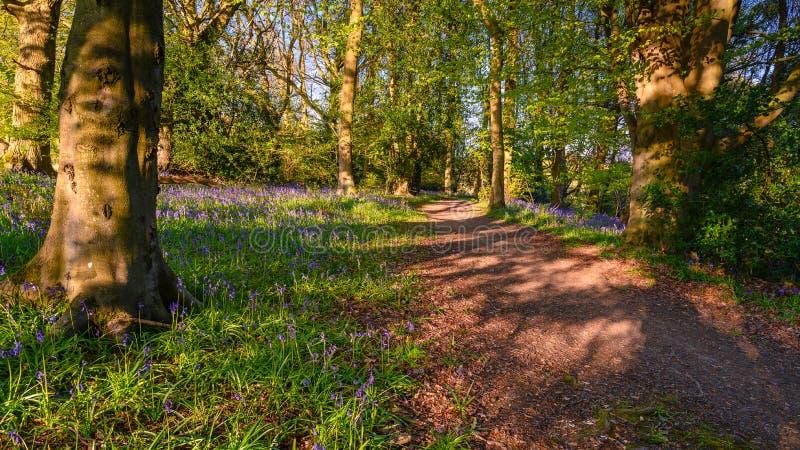Sentiero per pedoni in legno di Morpeth Bluebell fotografia stock