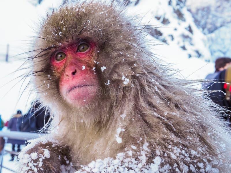 Sentimento só do inverno japonês da neve do macaco da neve no parque de Onsen Jigokudan da mola quente, Nakano, Japão imagem de stock