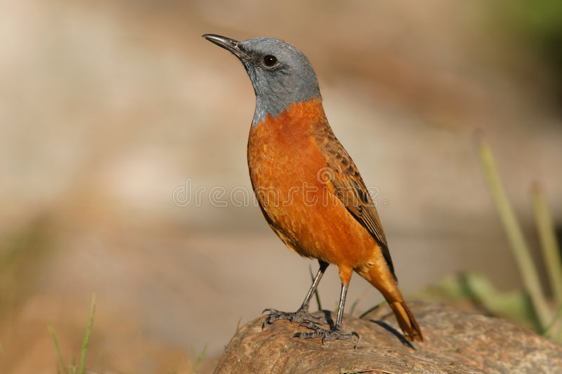 Sentinel rock thrush stock photography