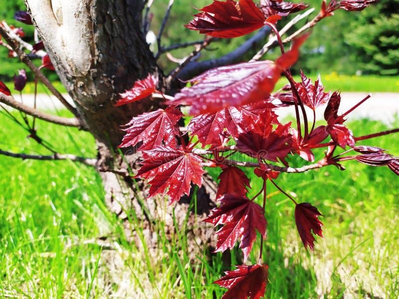 Sentinela de Maple Crimson foto de stock