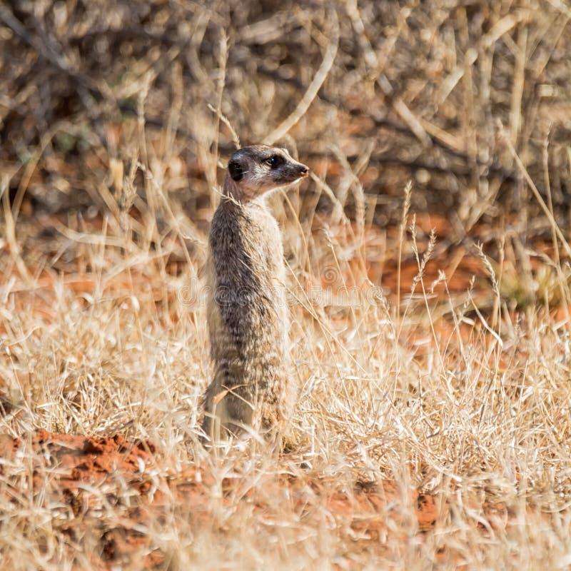 Sentinelle de Meerkat images stock