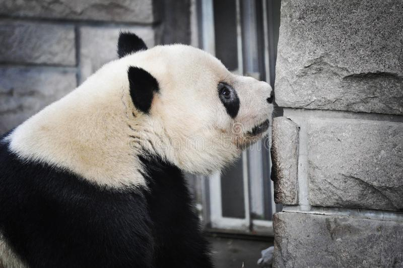 Sentir haut étroit de brickwall de visage de panda - Pékin photos stock