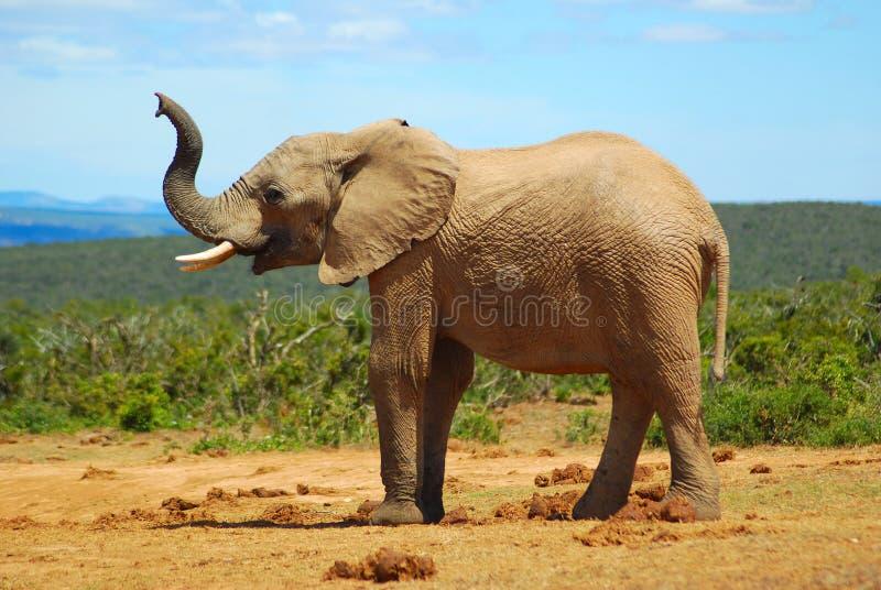 Sentire l'odore dell'elefante africano fotografie stock libere da diritti